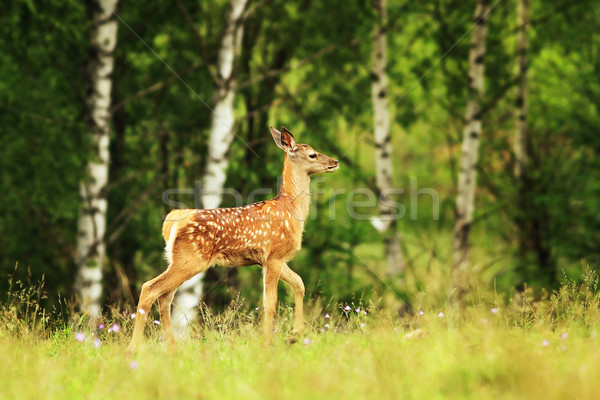 red deer youngster in a glade Stock photo © taviphoto