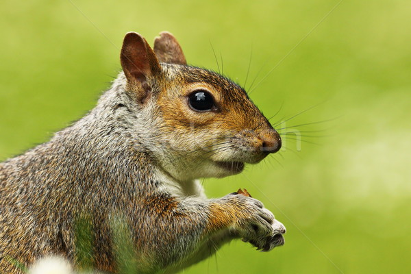 portrait of grey squirrel Stock photo © taviphoto