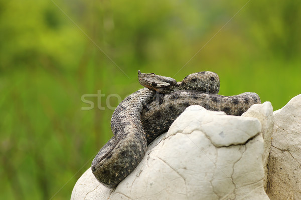 sand viper basking in natural habitat Stock photo © taviphoto