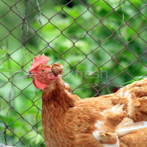 Interessante galinha marrom fazenda pássaro engraçado Foto stock © taviphoto