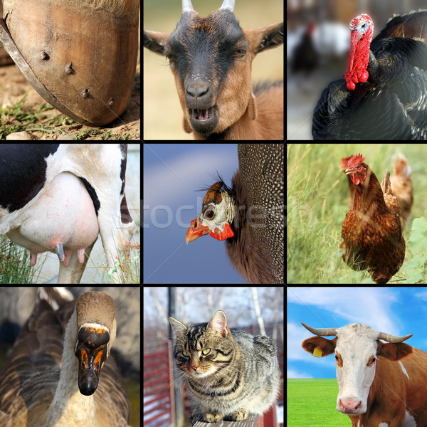 collection of different farm animals Stock photo © taviphoto