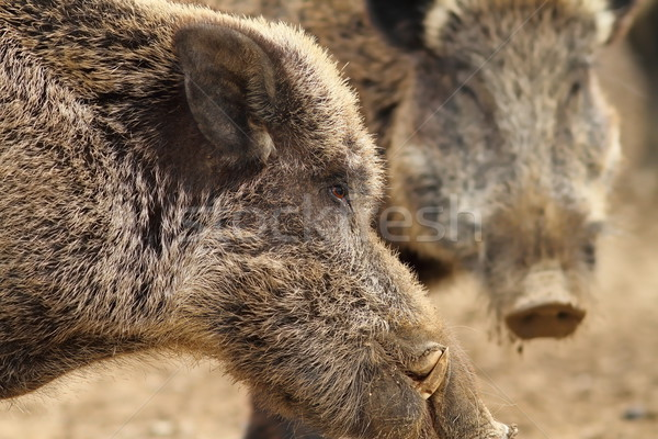 close up of large wild boar male Stock photo © taviphoto