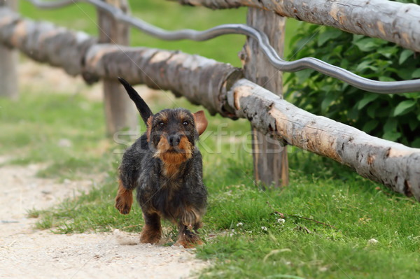 small dog running towards camera Stock photo © taviphoto