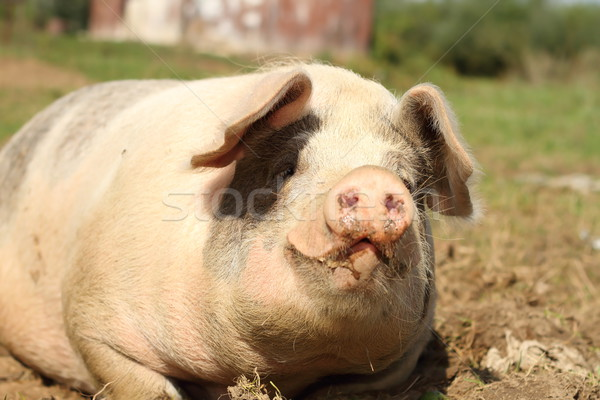 portrait of lazy sow Stock photo © taviphoto