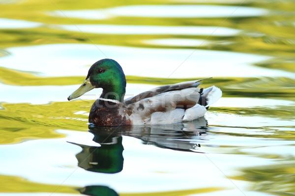 male mallard duck on pond Stock photo © taviphoto