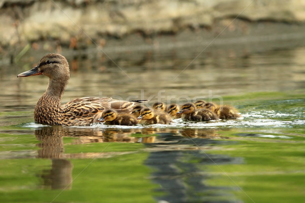 mallard ducks family Stock photo © taviphoto