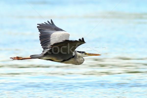 Cinza garça-real vôo danúbio rio delta Foto stock © taviphoto