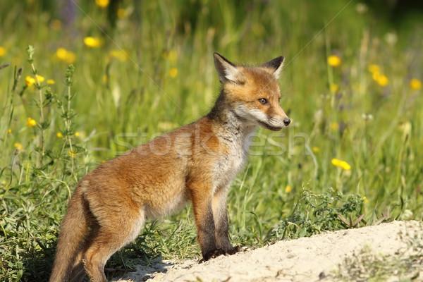 красный Fox ребенка Постоянный лице трава Сток-фото © taviphoto