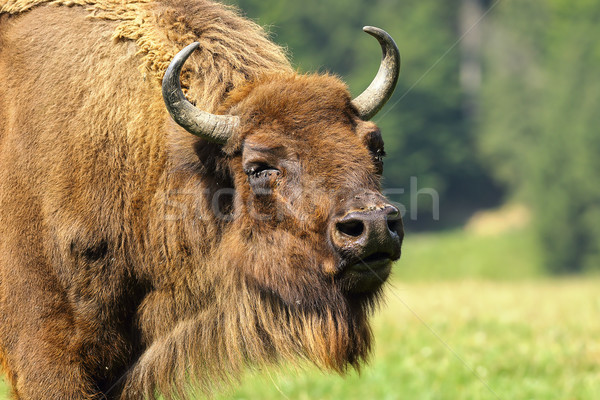 close-up of european bison Stock photo © taviphoto