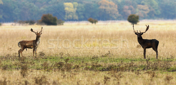 fallow deer bucks ready to fight Stock photo © taviphoto