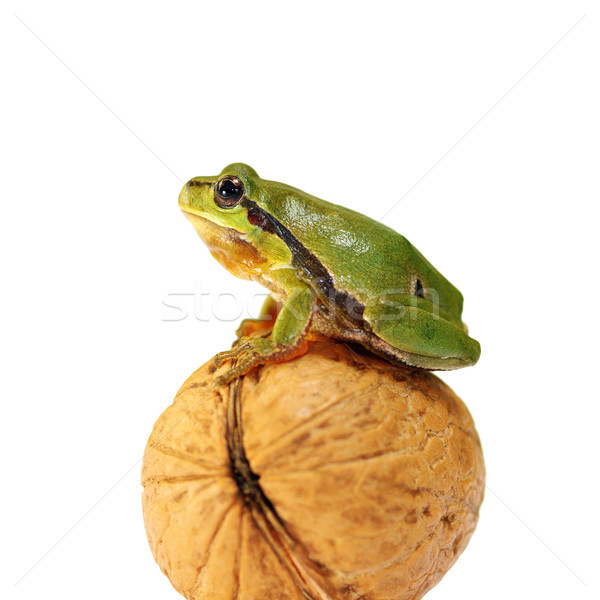 cute green tree frog over white Stock photo © taviphoto