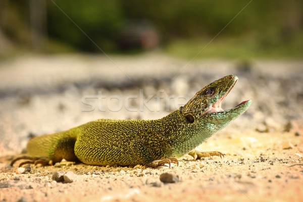male green lizard ready to attack Stock photo © taviphoto