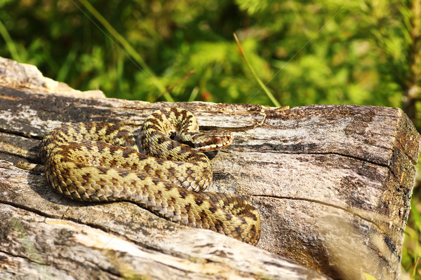 beautiful male common adder basking Stock photo © taviphoto