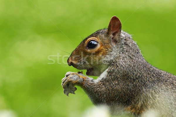 Stock photo: close up of hungry gray squirrel