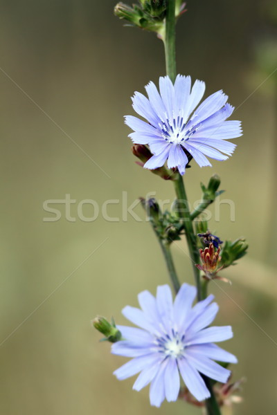 cichorium  intybus flowers Stock photo © taviphoto