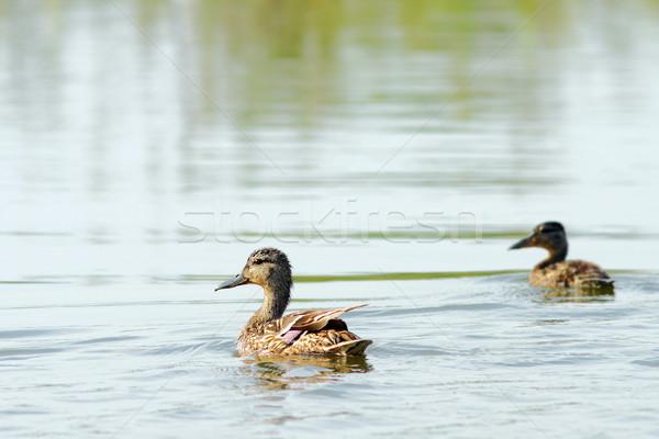 Stock fotó: Női · kacsa · fiatal · víz · természet · nyár