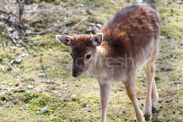 fallow deer calf Stock photo © taviphoto