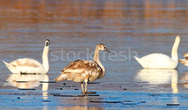 juvenile mute swan winter image Stock photo © taviphoto