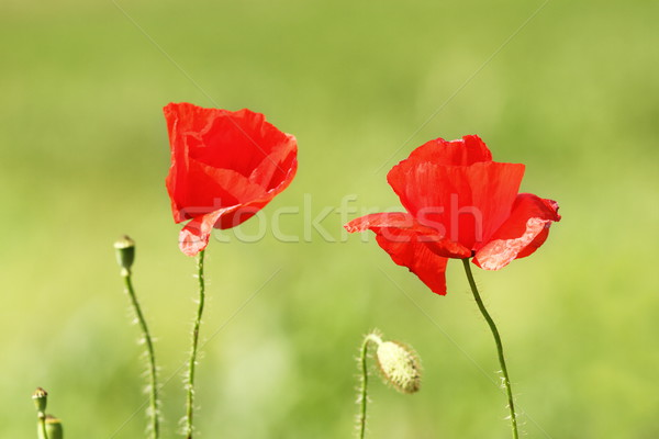 two poppy flowers Stock photo © taviphoto