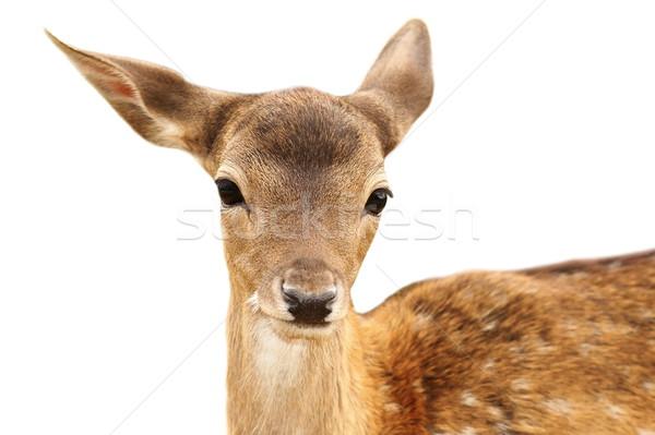 Geïsoleerd portret herten witte gezicht ogen Stockfoto © taviphoto