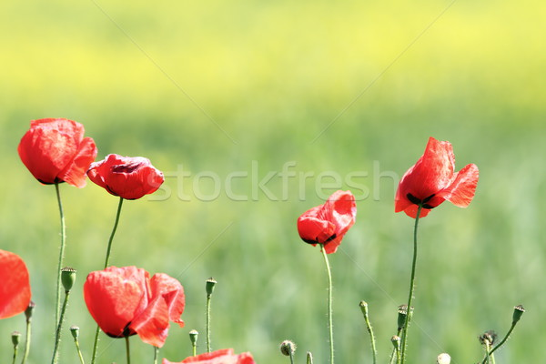 poppies in the wind Stock photo © taviphoto