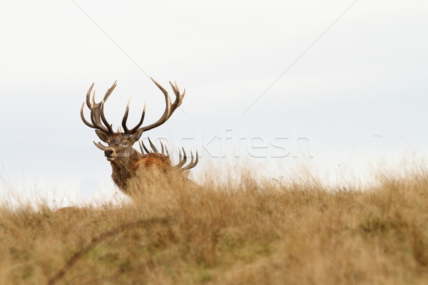 beautiful red deer stag looking at camera Stock photo © taviphoto
