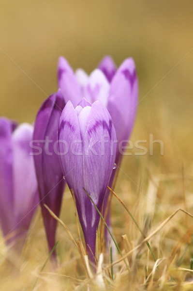 closeup of spring crocus Stock photo © taviphoto