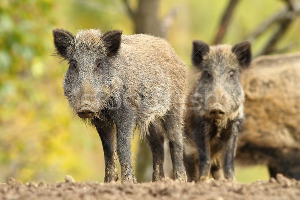 family of wild hogs Stock photo © taviphoto