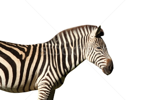 isolated profile view of a zebra Stock photo © taviphoto