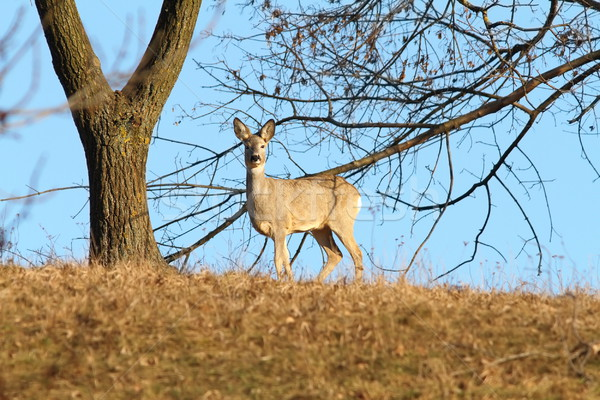 roe deer on top of a hill Stock photo © taviphoto