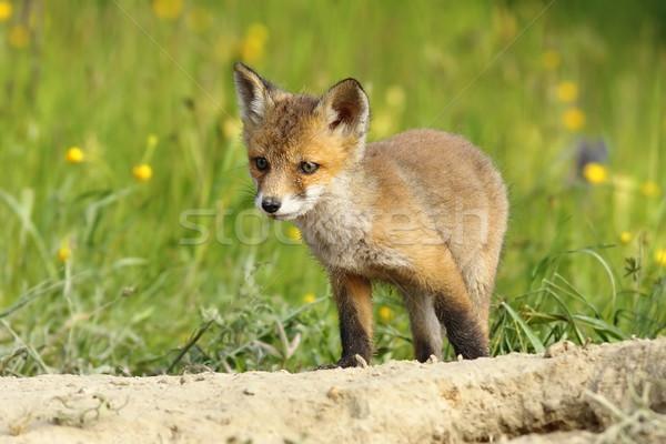 cute little fox cub Stock photo © taviphoto