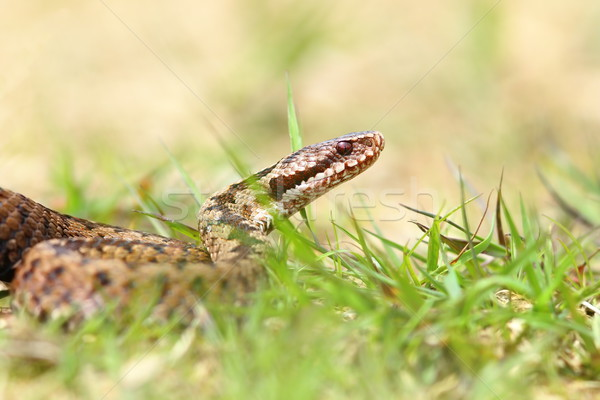 close up of european common adder Stock photo © taviphoto
