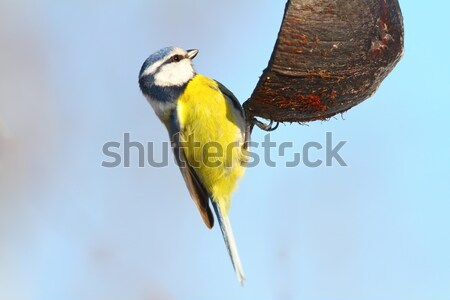 blue tit eating lard over white Stock photo © taviphoto