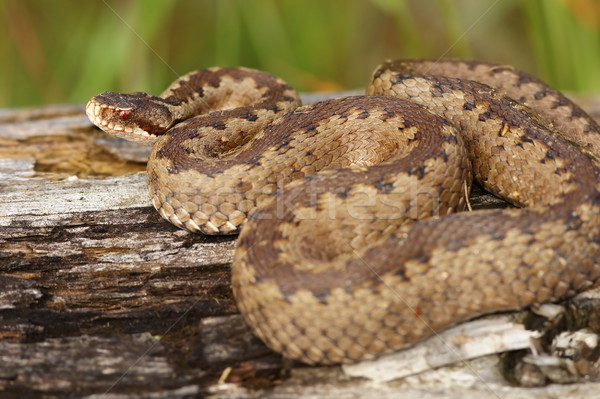 female crossed adder on stump Stock photo © taviphoto