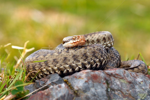 beautiful female european common adder Stock photo © taviphoto