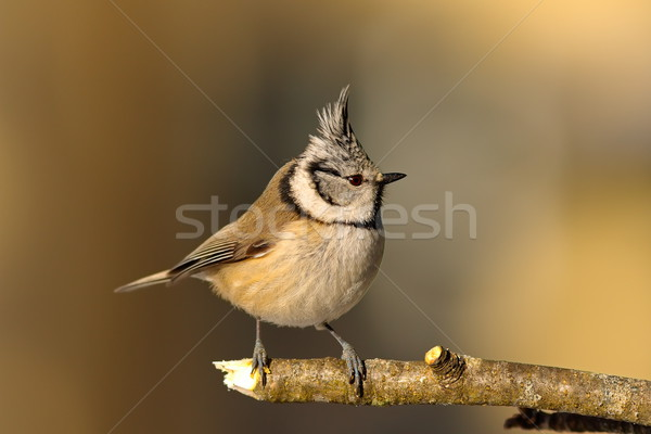 crested tit in the garden in winter Stock photo © taviphoto