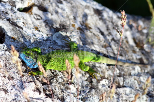 male Lacerta Viridis Stock photo © taviphoto