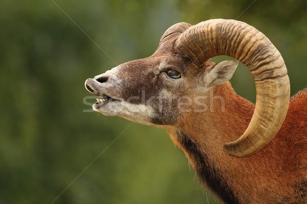 Ritual groß Widder Hintergrund Berg Schafe Stock foto © taviphoto