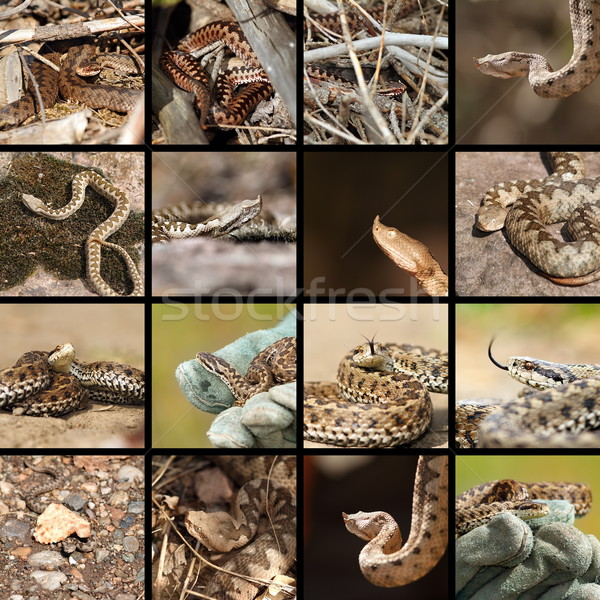 Collectie roemeense natuur slang dier angst Stockfoto © taviphoto