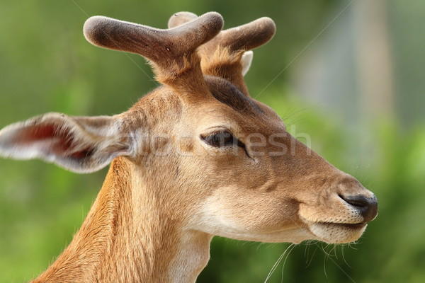 portrait of young fallow deer stag Stock photo © taviphoto