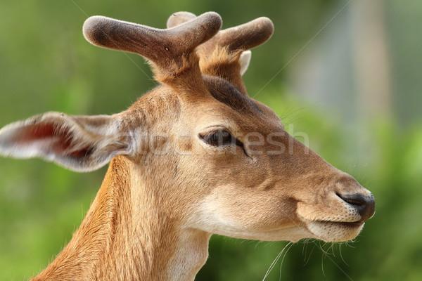 ストックフォト: 肖像 · 小さな · 鹿 · 緑 · 外に · フォーカス