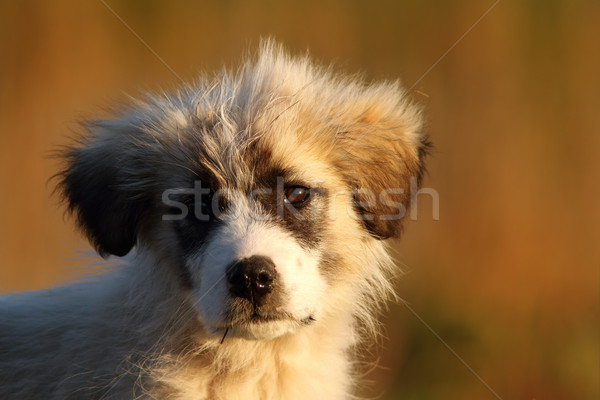 Roumain pasteur chiot portrait belle coucher du soleil Photo stock © taviphoto
