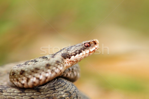 closeup of a beautiful vipera berus Stock photo © taviphoto