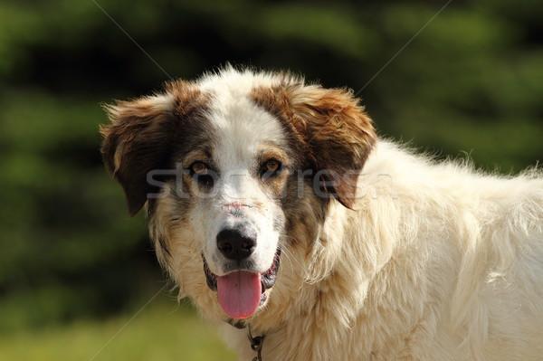 портрет румынский пастух собака гор шрам Сток-фото © taviphoto