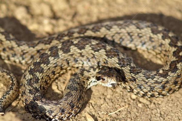 Agresivo pradera suelo naturaleza serpiente cabeza Foto stock © taviphoto