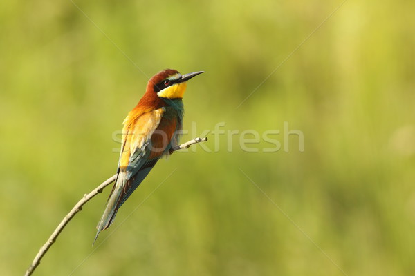 bee eater perched on twig Stock photo © taviphoto