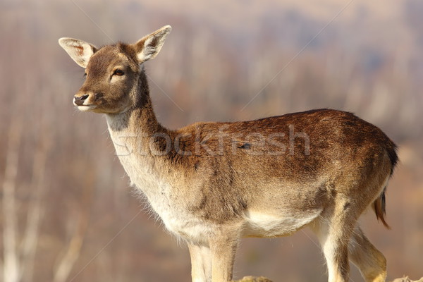 young fallow deer doe Stock photo © taviphoto
