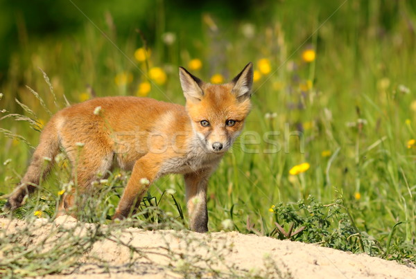 curious young red fox Stock photo © taviphoto