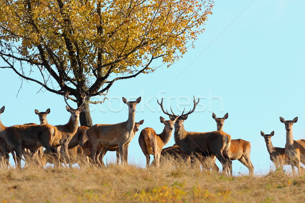 group of red deers in mating season Stock photo © taviphoto
