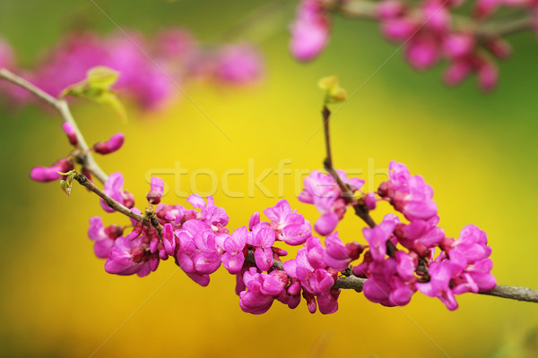 japanese cherry tree twig in bloom Stock photo © taviphoto